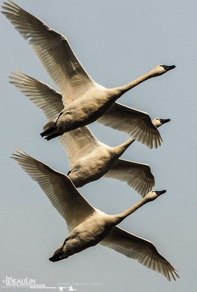 Riding the Tailwind<br /> Trio of tundra swans leaving Rice Lake, Morrison County, near Little Falls, Mn, for their acrtic breeding grounds.  Tundra swans are common early-spring and late-fall migrants in the state.