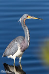 Tricolor Portrait V<br /> Adult tricolored heron wintering at Merritt Island National Wildlife Refuge, Titusville, Forida.  During breeding their bills turn blue and legs reddish.