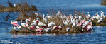 Birds of a Feather<br /> Mixed flock of white ibis, snowy egret, great egret, and roseate spoonbill, loafing in a brackish coastal estuary impoundment at Merritt Island National Wildlife Refuge, Titusville, Florida.