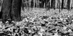 Infrared shot of vernal woodland forbs in a rich mesic hardwood forest in central Minnesota at Little Elk WMA