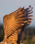 High Anxiety Boomer II<br /> Greater prairie chicken on Bluestem Prairie SNA in Clay County, Minnesota.