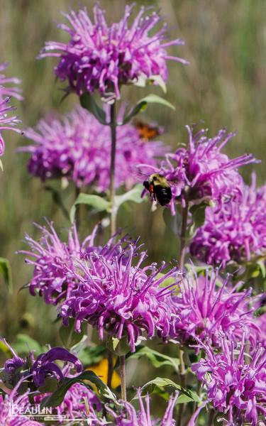Bumble Bee & Bergamot II