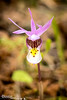 Fairy Slipper Portrait