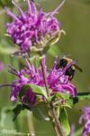 Bumble Bee & Bergamot