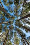Preaching Pines