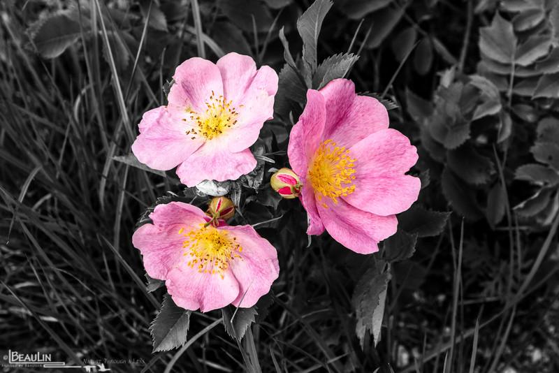 Three Pinks