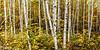 Birch Understory