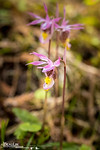 Fairy Slipper II