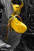 Yellow slipper - B&W
