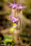 Fairy Slipper