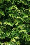 Cedar Abstract
