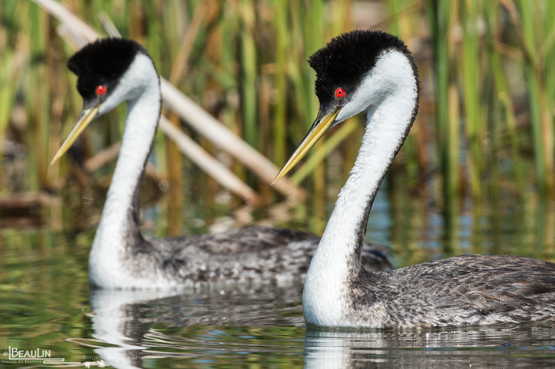 Arch-clucking Grebes
