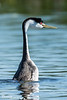 Barge-Trilling Grebe