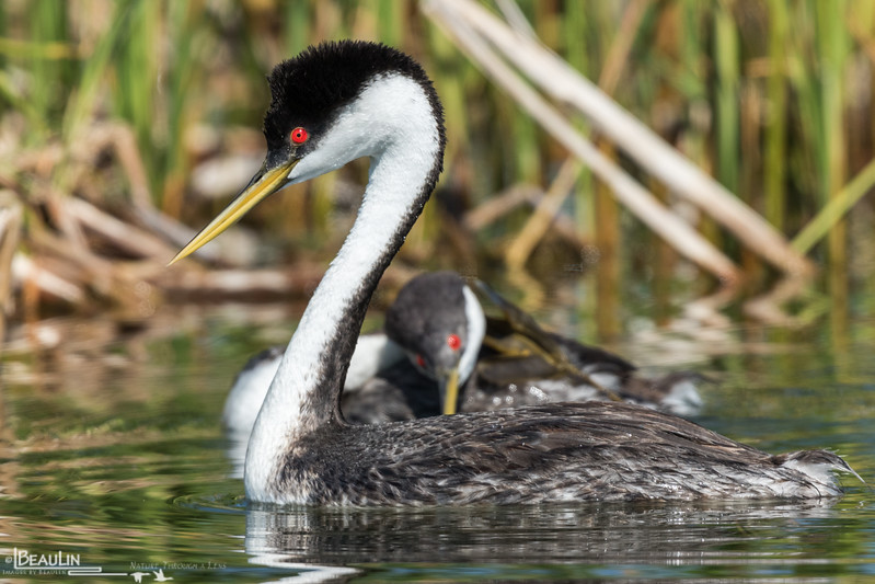 High-arch Grebe II