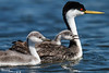 Western grebe chicks tended by parent on Lake Osakis, Minnesota, a site well known for its grebe population.