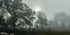 Foggy Morning Savanna
