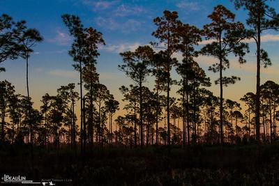 Pine Savanna-Scrub Sundown IV Pine savanna and scrub habitat during sundown at Highland Hammock State Park, Sebring, Florida.
