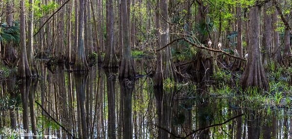 Of Cypress & Ibises Bald cypress swamp at Highland Hammock State Park, Sebring, Florida.
