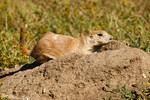 Ready to Hide<br /> Prairie dog, Custer State Park, Black Hills, South Dakota