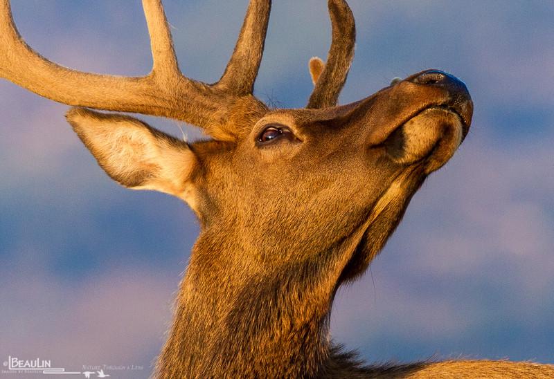 Skyward Glance II<br /> Early-morning young bull elk on the alpine tundra at Iceberg Pass, 11,800 feet, Rocky Mountain National Park, Colorado.