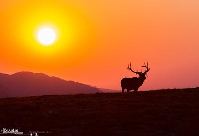 Sunrise @ Iceberg Pass III Early-morning bull elk on the alpine tundra at Iceberg Pass, 11,800 feet, Rocky Mountain National Park, Colorado.