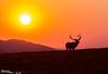 Sunrise @ Iceberg Pass III<br /> Early-morning bull elk on the alpine tundra at Iceberg Pass, 11,800 feet, Rocky Mountain National Park, Colorado.