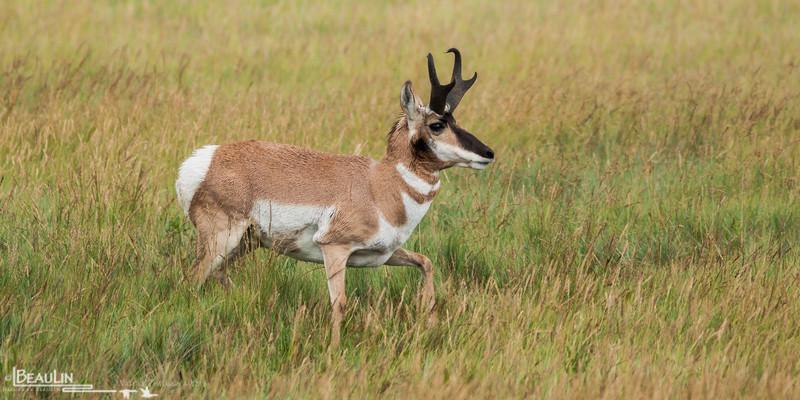 Uneasy Pronghorn<br /> Pronghorn buck near Roundup, Montana