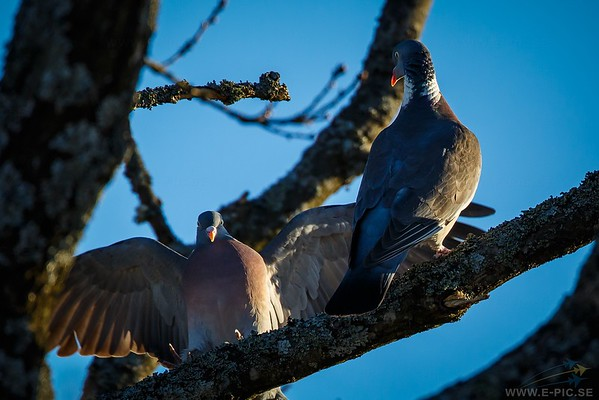 Wood pidgeon, Skogsduva