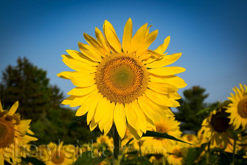20150817_sunflower_0438