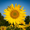 20150817_sunflower_0438