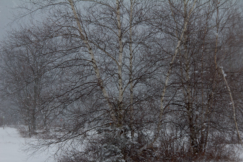Birch Tree, Winter