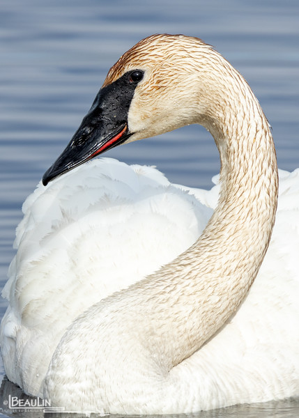 Swan Portrait IV