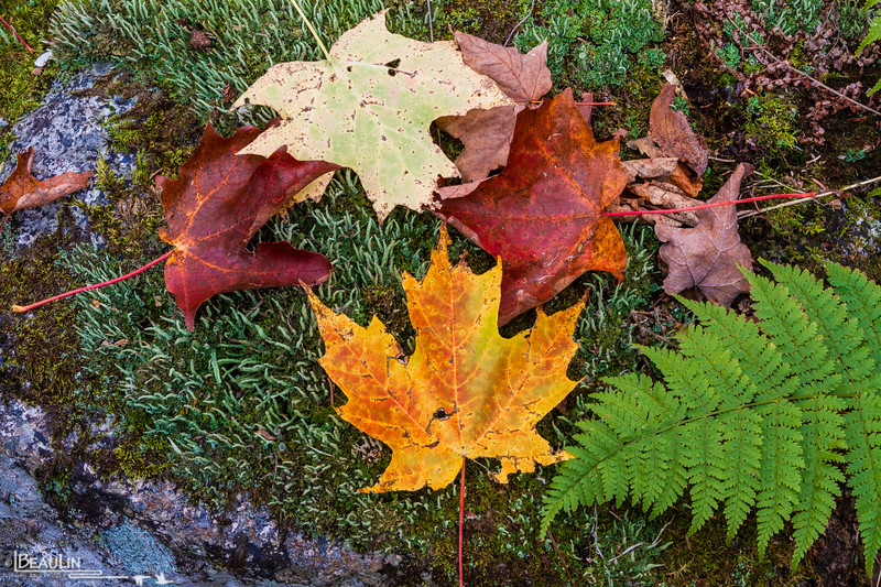 Maple Leaves & Moss