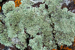 Foliose Lichen Abstract