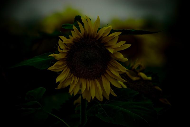 Weaping Sunflower