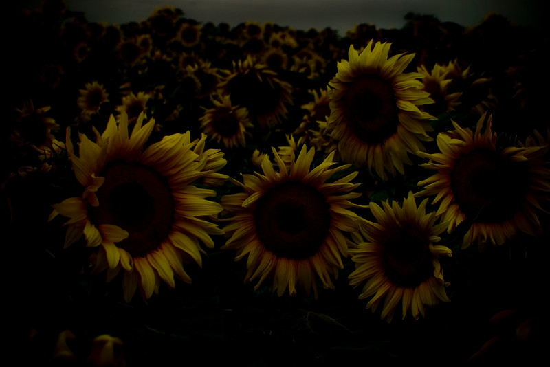 Sunflower Munsters, 2007