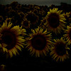 Sunflower Munsters, 2007
