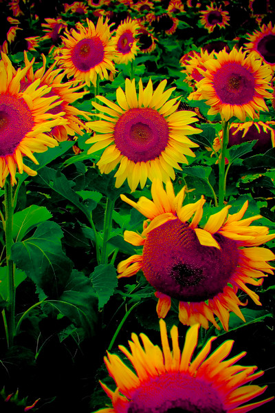 Metallic Sunflowers, 2007