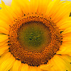 Sunflower closeup, 2007