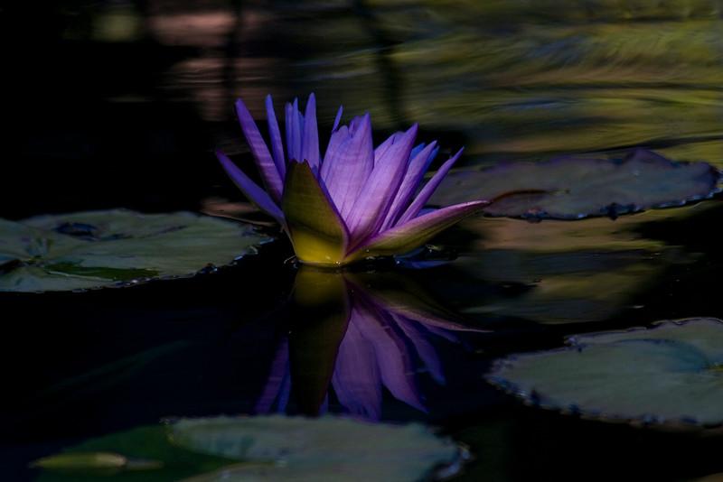 Waterlily profile