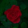 Raindrop Rose, 2007
