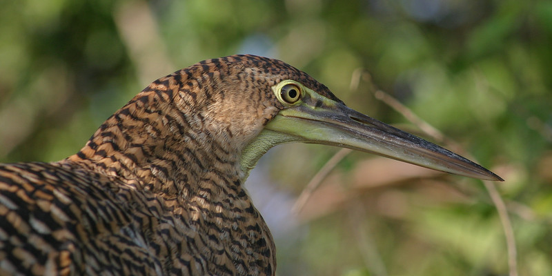 Bare-throated Tiger Heron, Tigrisoma Mexicanum