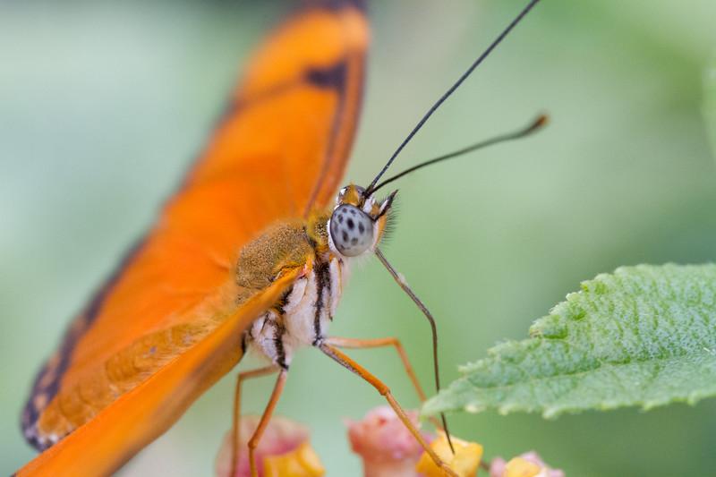 Julia Butterfly, Dryas Iulia