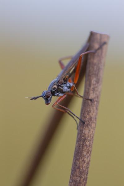 Stonefly, Plecoptera