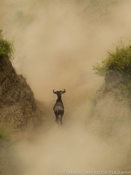 During a Mara crossing, a herd of wildebeest ran down a cliff only to get spooked by a crocodile in the river and run back up the cliff again. The clouds of dust had obscured the animals and as the visibility slowly improved, it revealed one lone straggler (which looked to have lost the rest of the herd) surrounded by billowing clouds of dust both all around him.