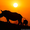 As this rhino and calf grazed, I positioned myself to shoot into the setting sun and was rewarded when the pair walked up a sloping termite mound, giving me the angle to capture their silhouettes.