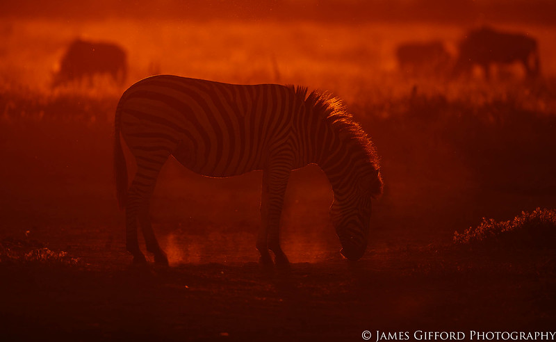 I knew from experience that at one of the waterholes in Savute, Botswana, there was a barren patch of ground which was prone to creating dust if an animal walked through it, so I set myself up in position, shooting into the setting sun, and waited. A harem of zebra eventually came past and one of them veered off to kick at the ground in preparation for a dust bath. She paused, sniffing at the ground, her outline lit up by the setting sun, giving me an unusual portrait of what is seen as a relatiely common species.