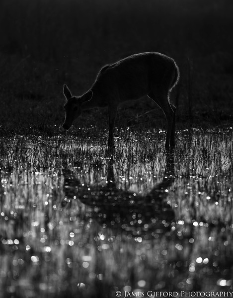 The harsh light in the middle of the day made photographing this reedbuck in Botswana's Okavango Delta difficult. However I realised by shooting into the light and metering for the sun, I could take advantage of the sun reflecting in the water and simplify my subject to a simple outline.