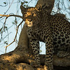 Having found this leopard and her subadult cub up a tree with a carcass the previous evening in Savute, Botswana, I returned the following morning. The resident lion pride had picked up the scent of the carcass and were approaching. The leopard realised they were in the area and kept looking out towards their direction to see how close they were. She would only look for a second then turn her head and most of the time her head was in the shade, but I realised if the sun caught her face I could underexpose for a more dramatic portrait. Shortly after this shot, the lions arrived, causing the female leopard and her cub to climb higher in the tree out of their reach. The lions then clumsily climbed the tree and fed on the carcass although the squabbling between them meant that several were forced back down to the ground.