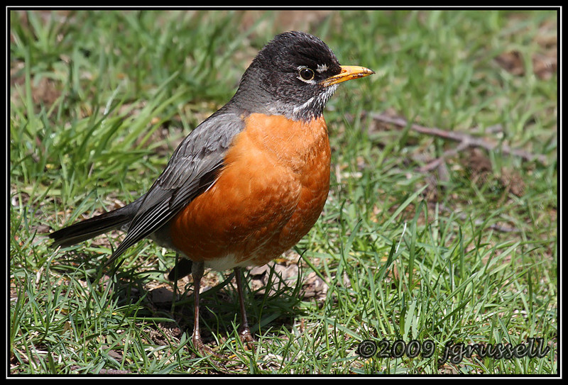 Backyard robin